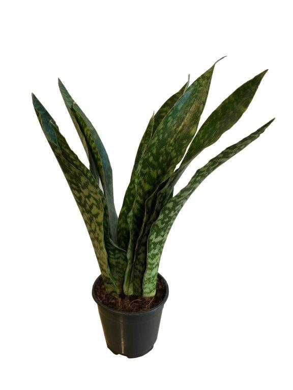Sansevieria Dragon